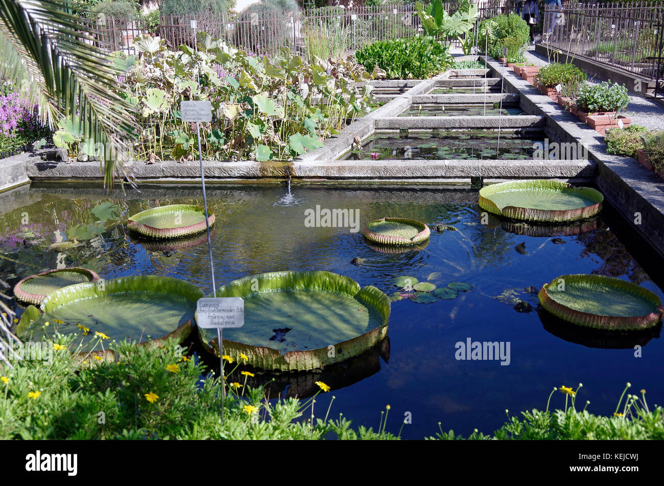 Orto Botanico di Padova, Padua Botanical garden, the world's oldest, in  Italy, Water lilies - Stock Image
