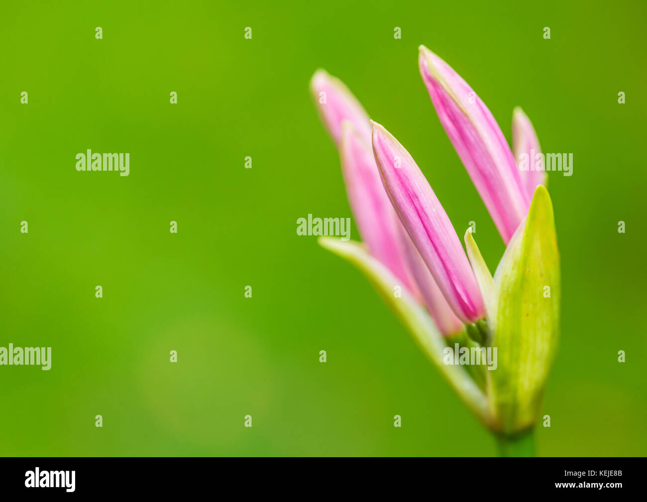 A macro shot of a nerine bowdenii flower bud showing pink petals. - Stock Image