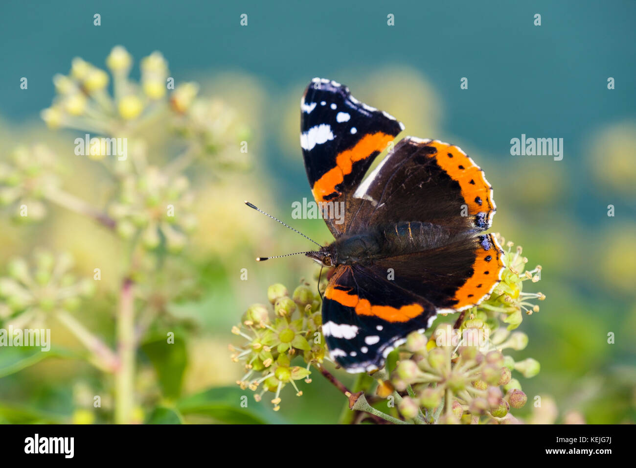 Red Admiral butterfly (Vanessa atalanta) with a damaged wing feeding on Ivy flowers (Hedera helix) by the sea in - Stock Image