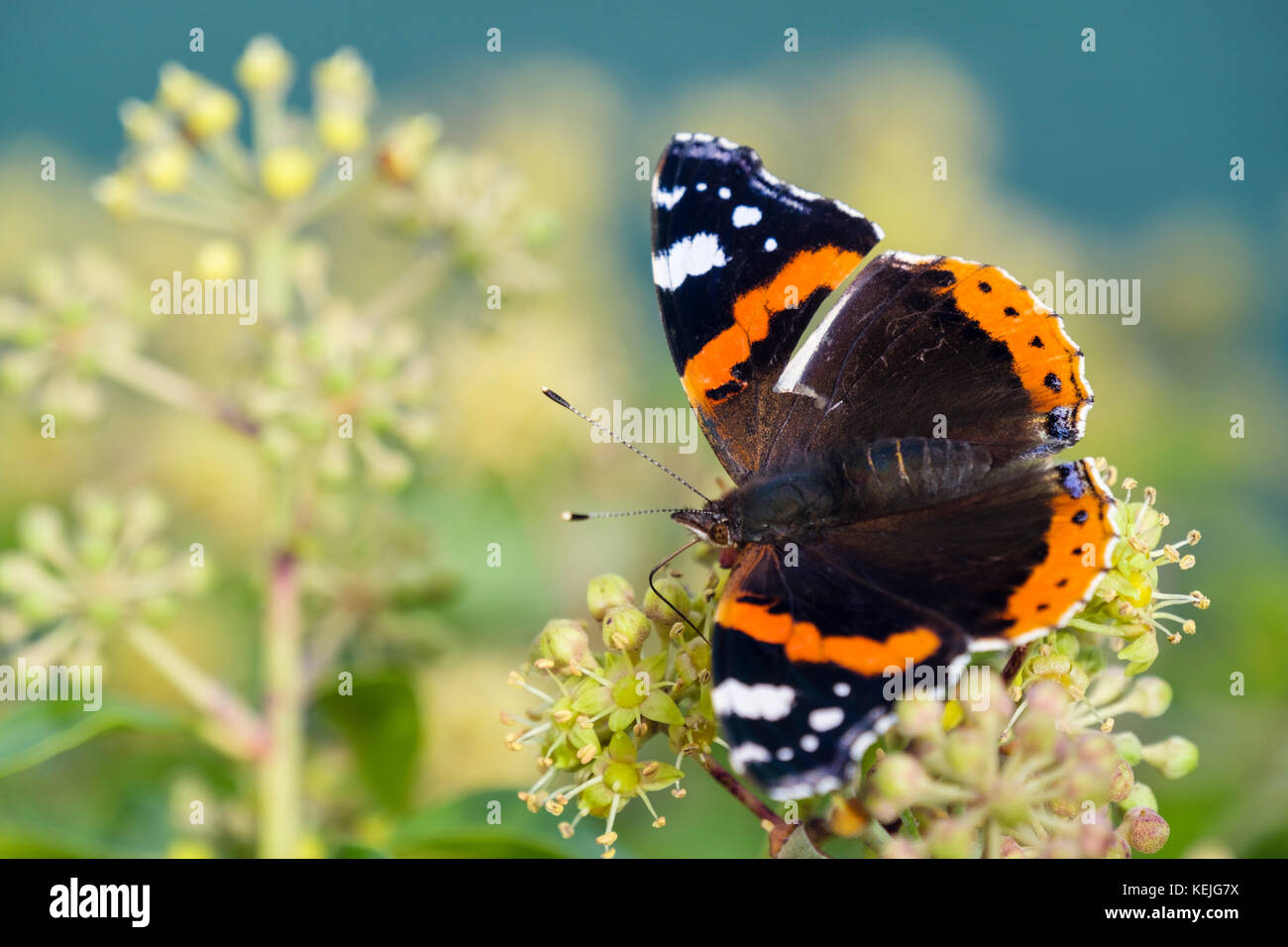 Red Admiral butterfly (Vanessa atalanta) preparing to hibernate feeding on Ivy flowers (Hedera helix) in late summer - Stock Image
