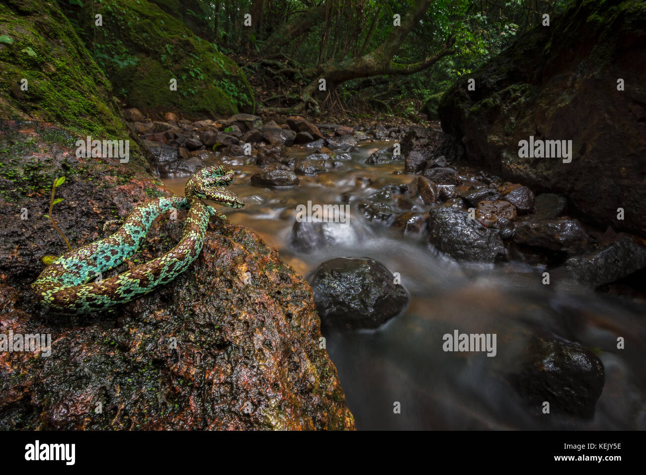 Malabar pit viper at a stream in Amboli - Stock Image