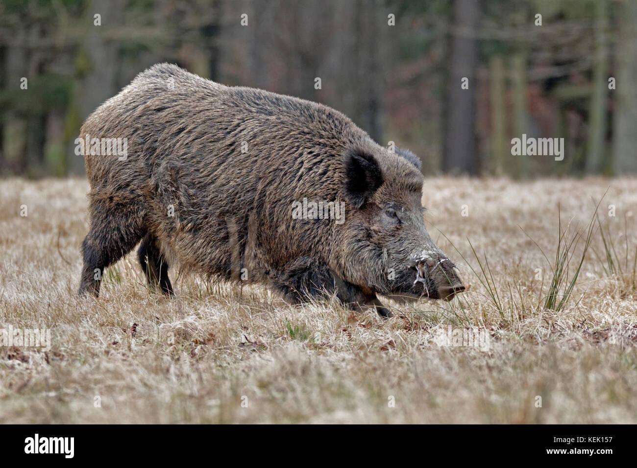 Wild boar (Sus scrofa), tusker, Schleswig Holstein, Germany, Europe - Stock Image