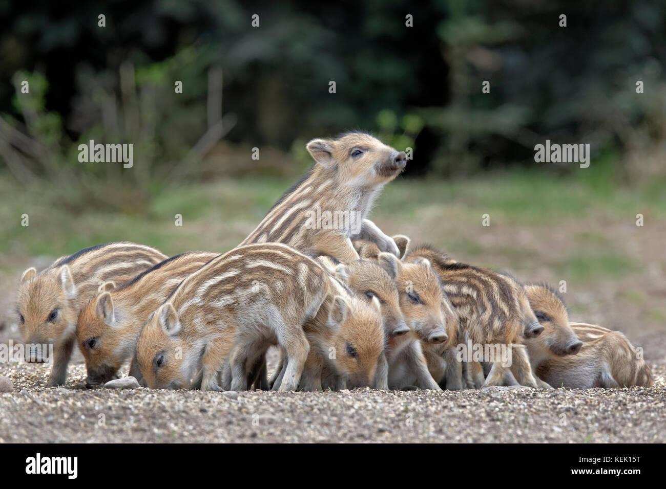 Wild Boars (Sus scrofa), piglet, group, Schleswig-Holstein, Germany,  Europe - Stock Image