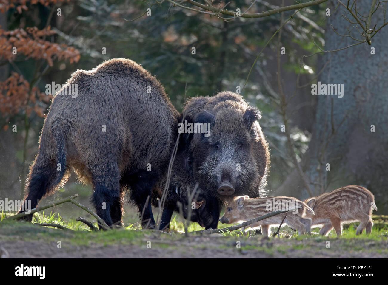 Wild boars (Sus scrofa), tusker, Schleswig Holstein, Germany, Europe - Stock Image