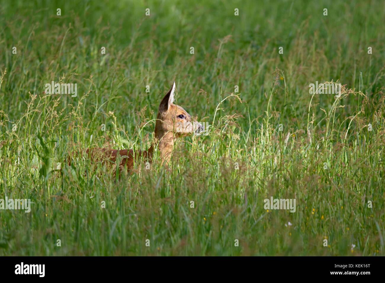 Roe deer (Capreolus capreolus), Schleswig-Holstein, Germany, Europe - Stock Image
