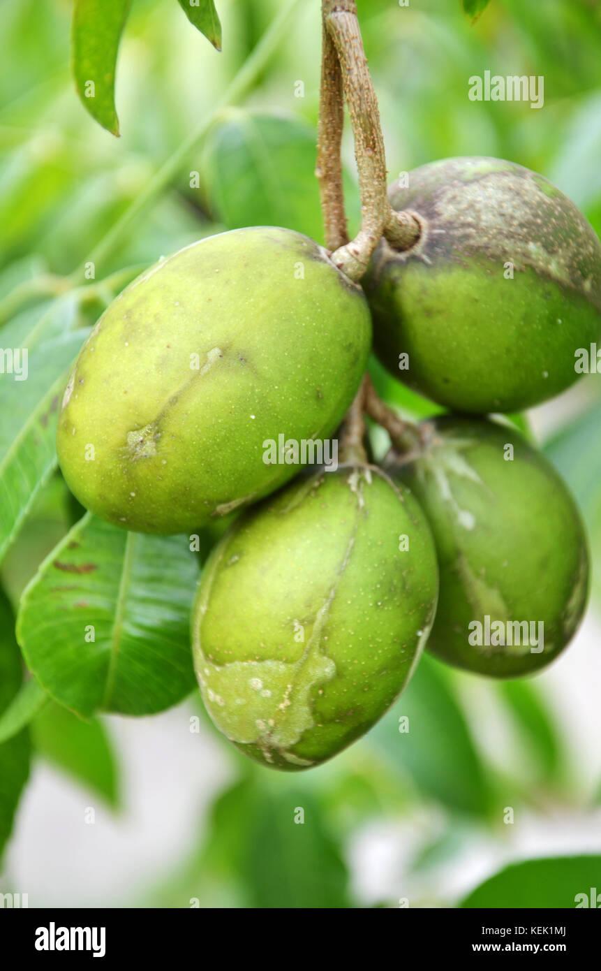 Hog Plum Tree Stock Photos & Hog Plum Tree Stock Images - Alamy