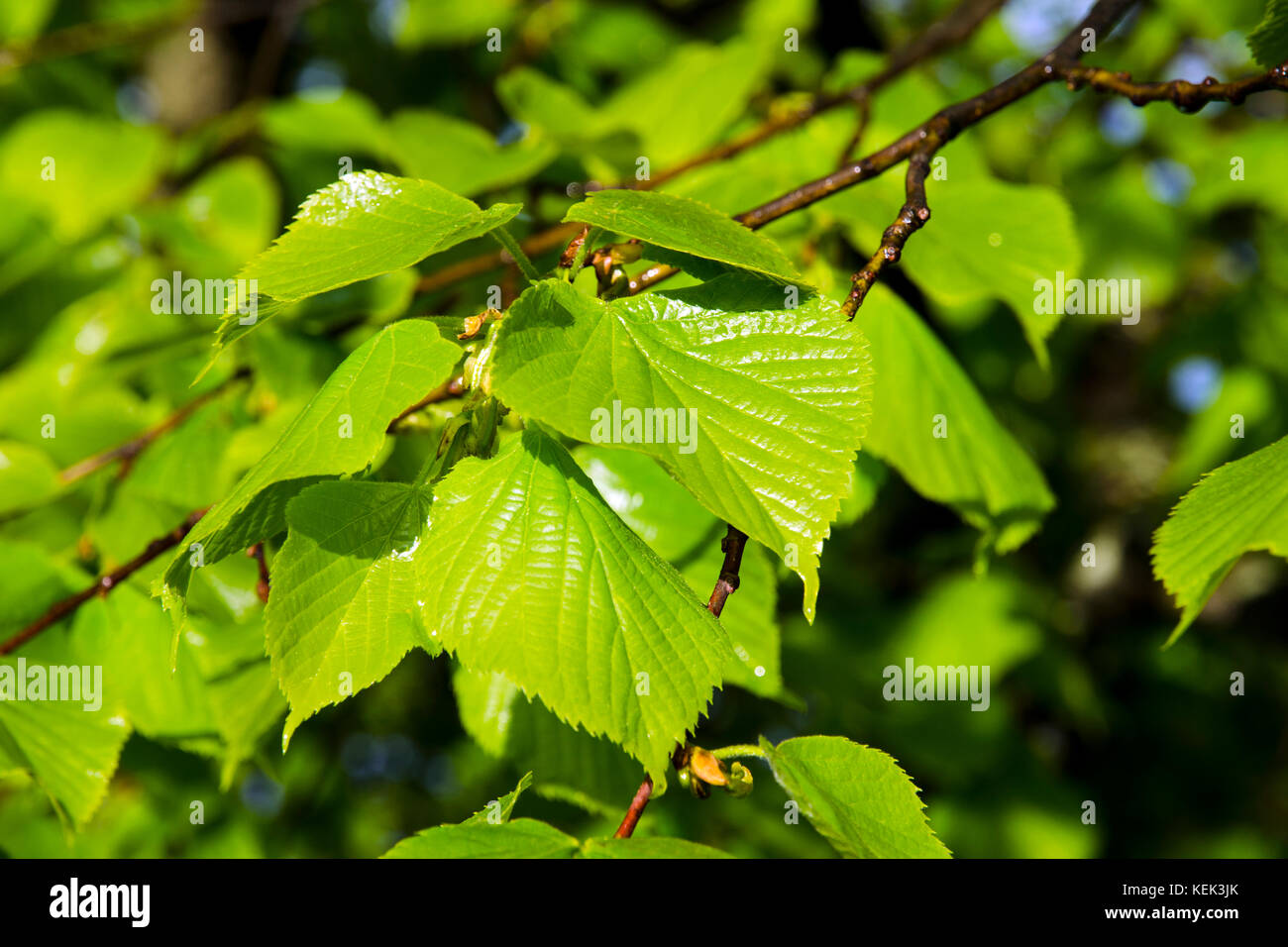 Medicinal Leaves Color Stock Photos & Medicinal Leaves Color Stock ...