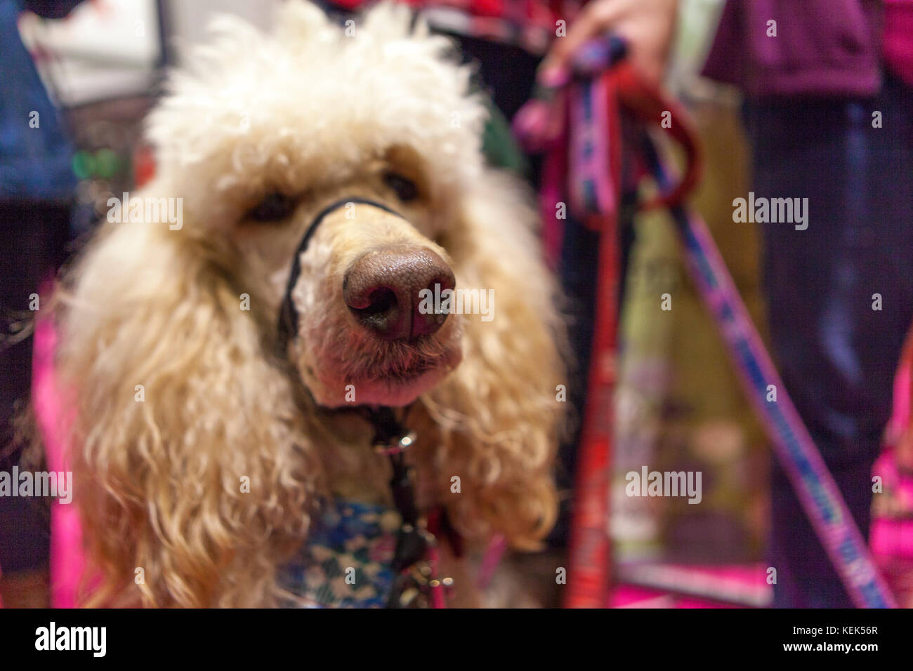 London, UK. 21st Oct, 2017. Discover Dogs Show: ExCel, London, UK. 21st Oct, 2017. Credit: Steve Parkins/Alamy Live - Stock Image