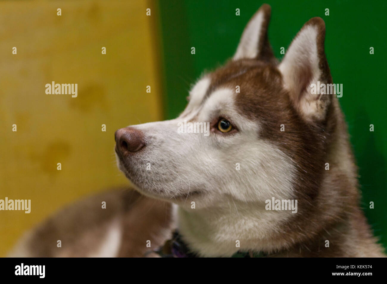 London, UK. 21st Oct, 2017. Discover Dogs Show: ExCel, London, UK. 21st Oct, 2017. Credit: Steve Parkins/Alamy Live - Stock Image