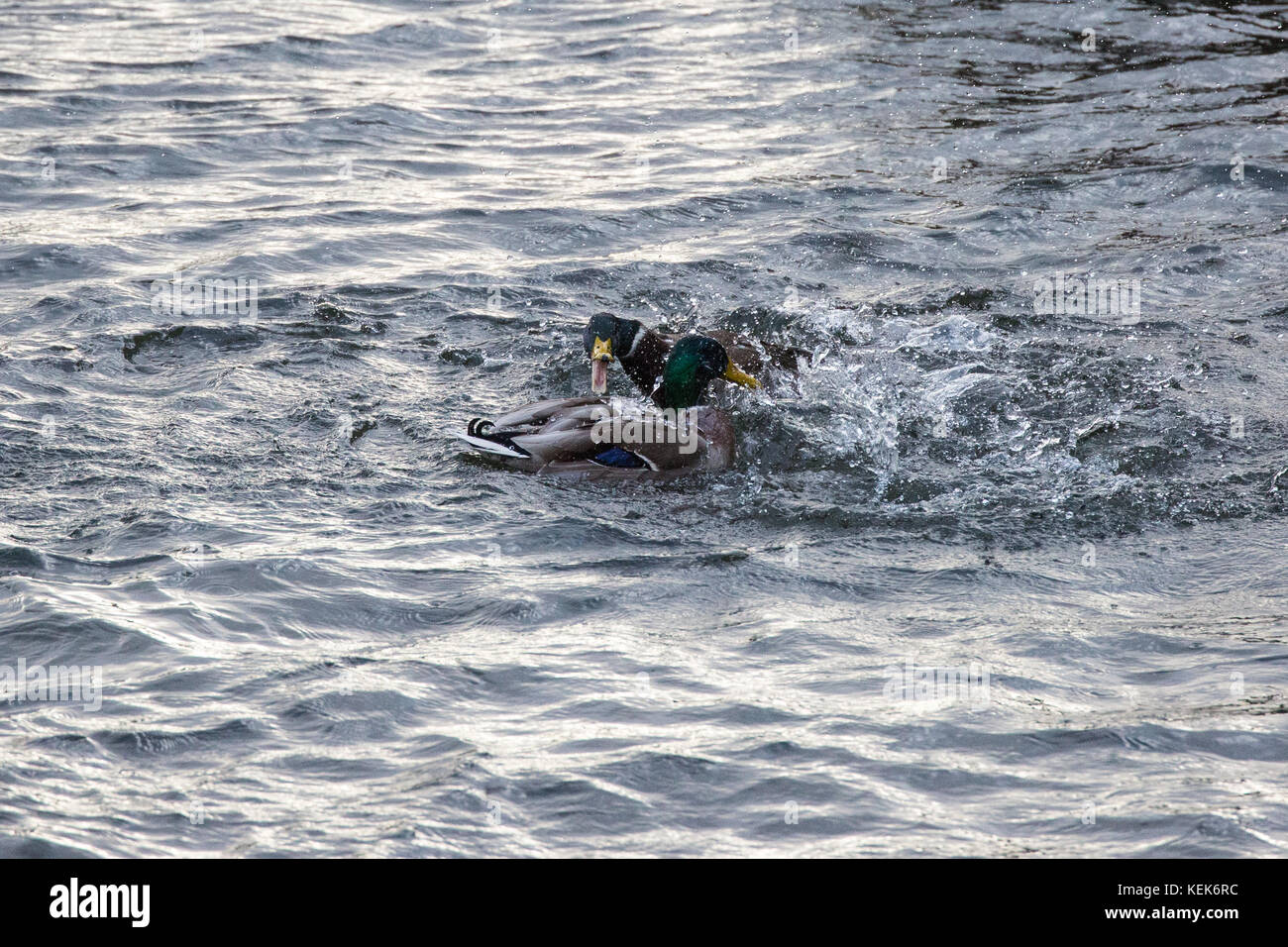 Windsor, UK. 21st October, 2017. Mallard drakes fight in the River Thames as Storm Brian passes across the UK. Credit: - Stock Image