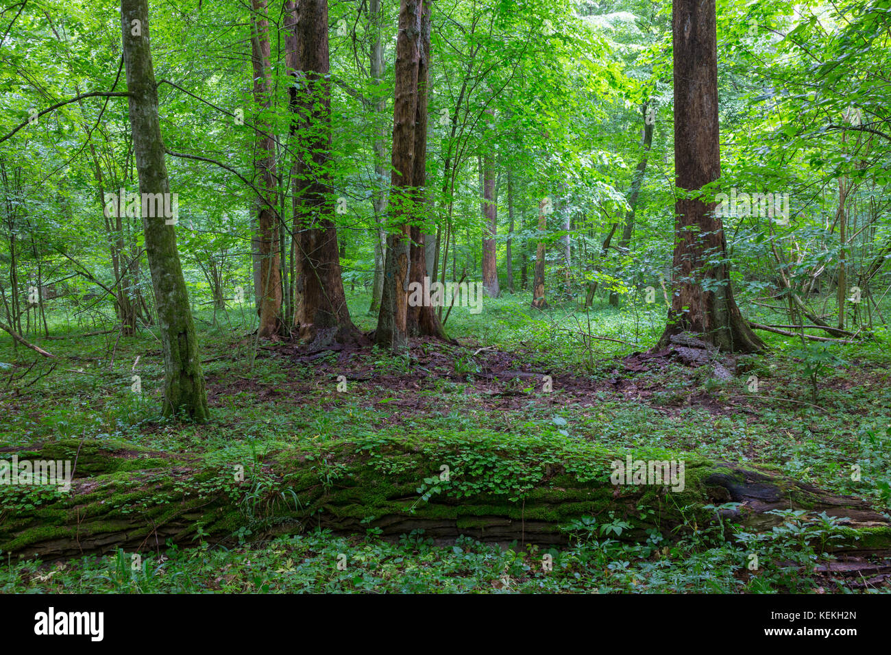 Bark-less dead spruces in old summertime deciduous stand,Bialowieza Forest,Poland,Europe - Stock Image