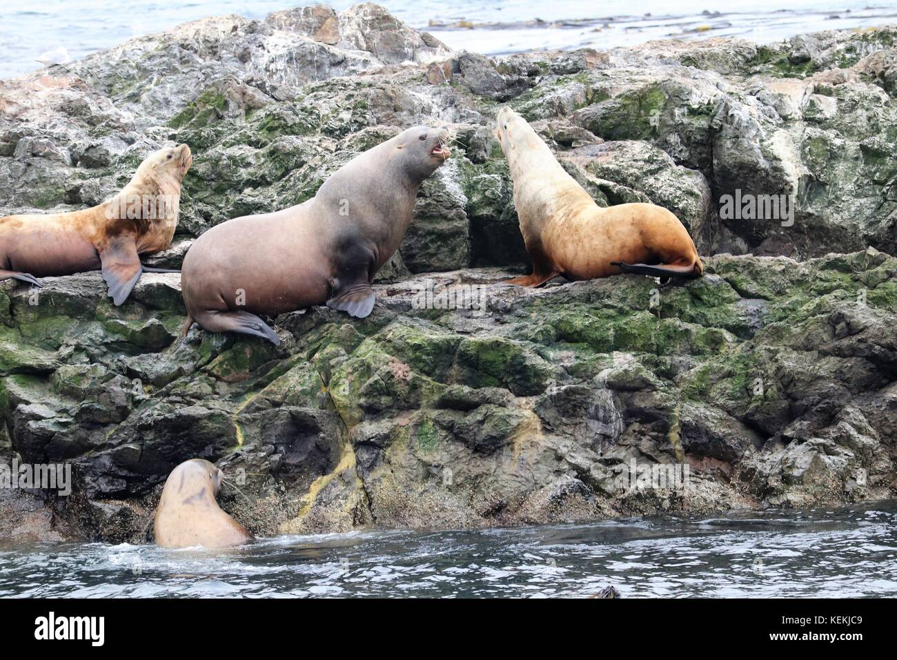 Stellar Sea Lions - Stock Image
