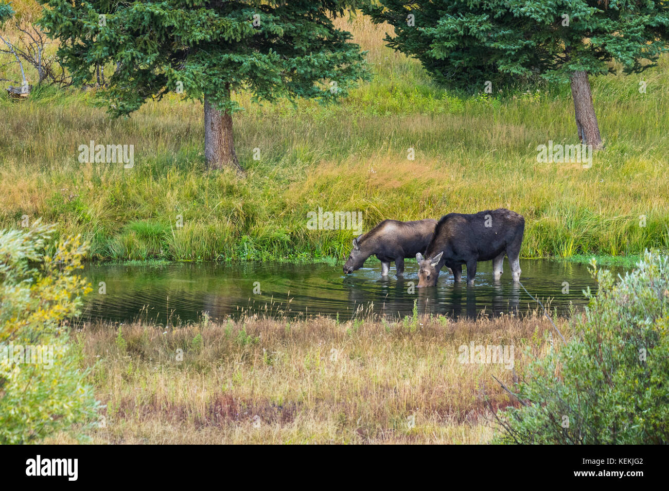 A female moose cares and grazes with her young calf along the Snake River in Wyoming, USA. - Stock Image