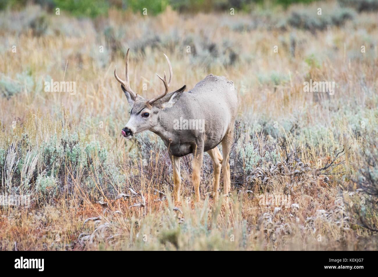 Profile view of a single antlered mule deer buck. - Stock Image