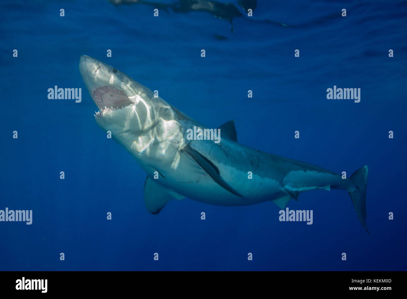 Great White Shark Carcharodon Carcharias Guadalupe Island Mexico