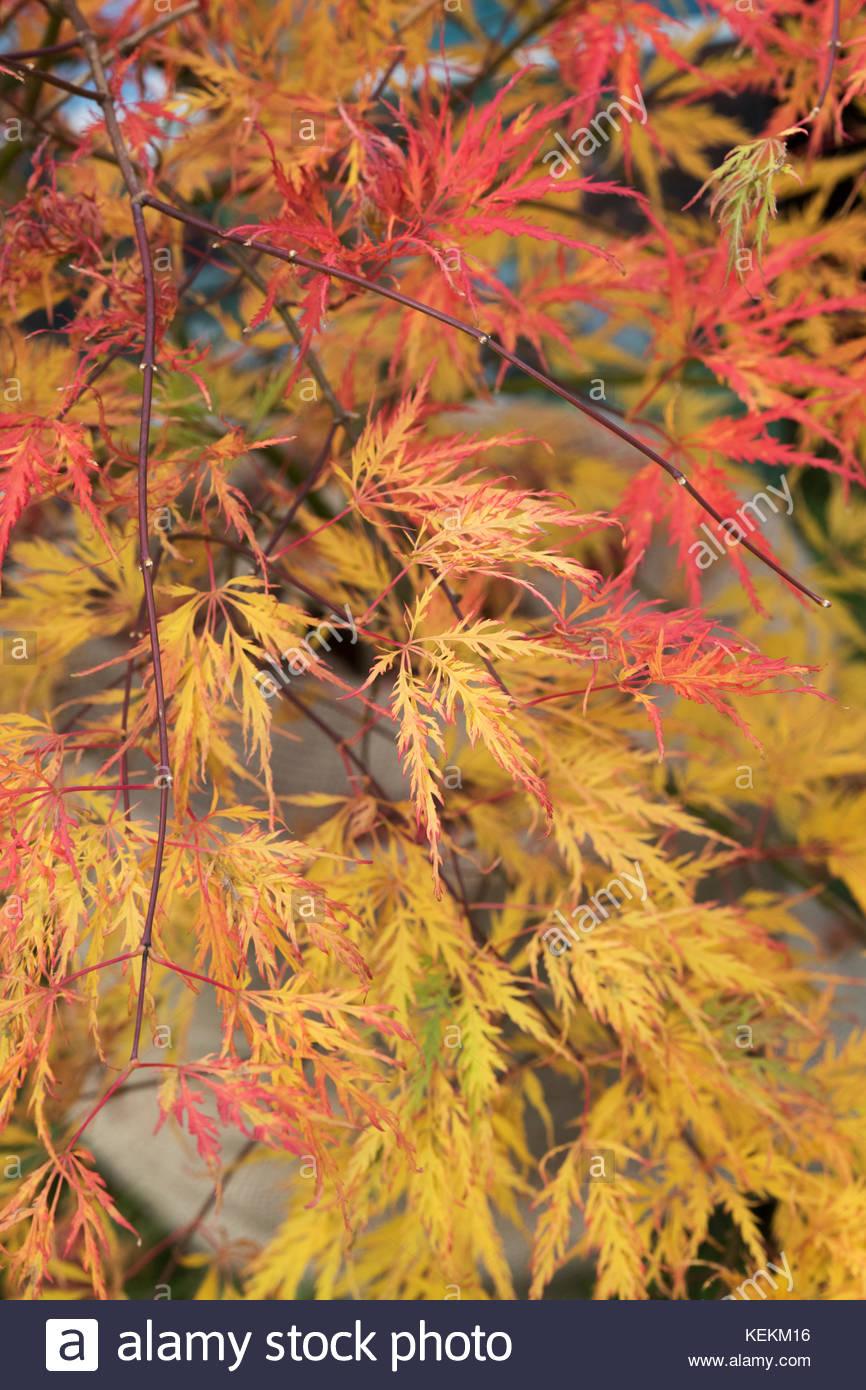 Acer Palmatum Dissectum Green Globe Cut Leaved Japanese Maple