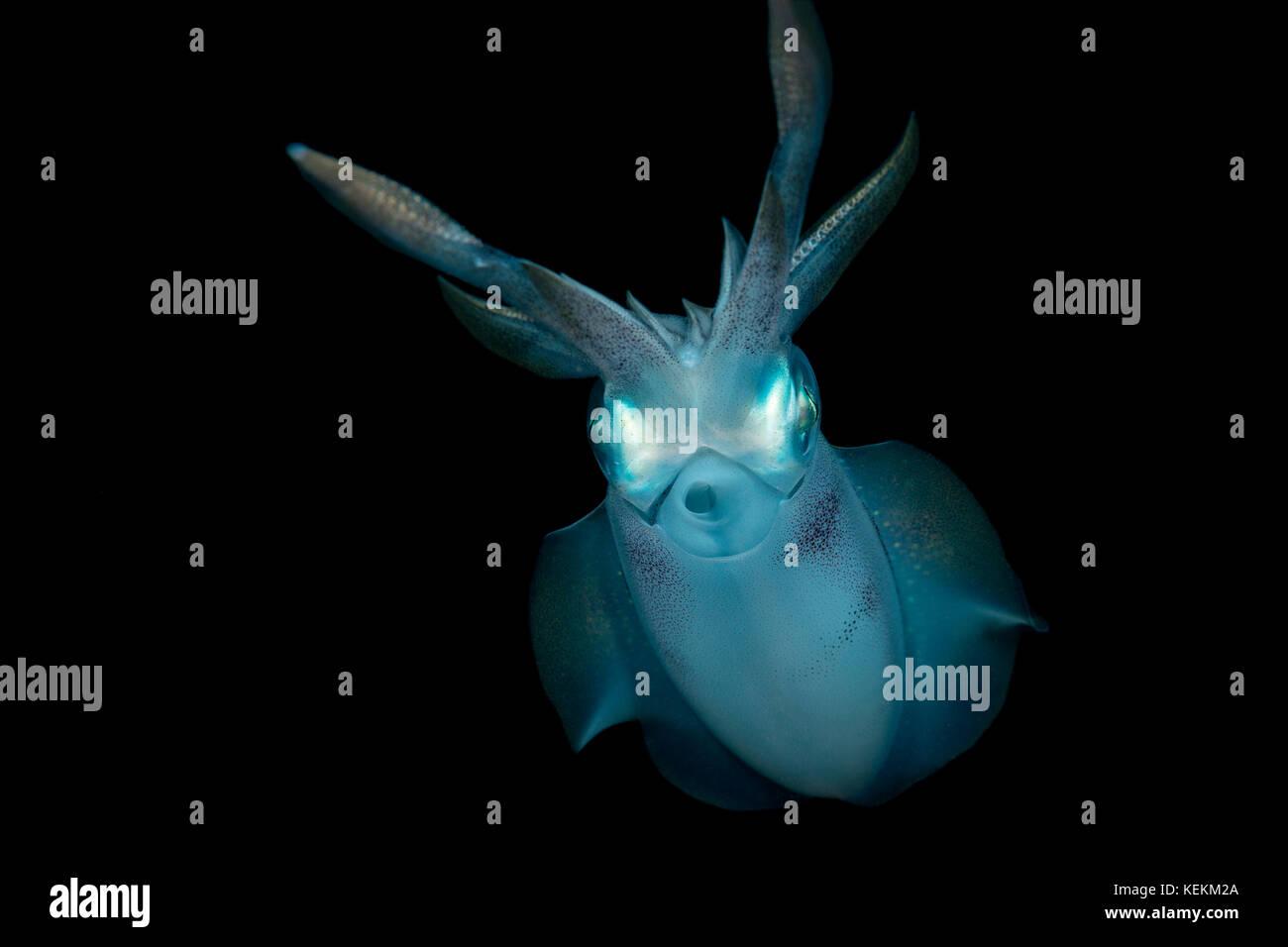 Bigfin Reef Squid, Sepioteuthis lessoniana, Marsa Alam, Red Sea, Egypt - Stock Image
