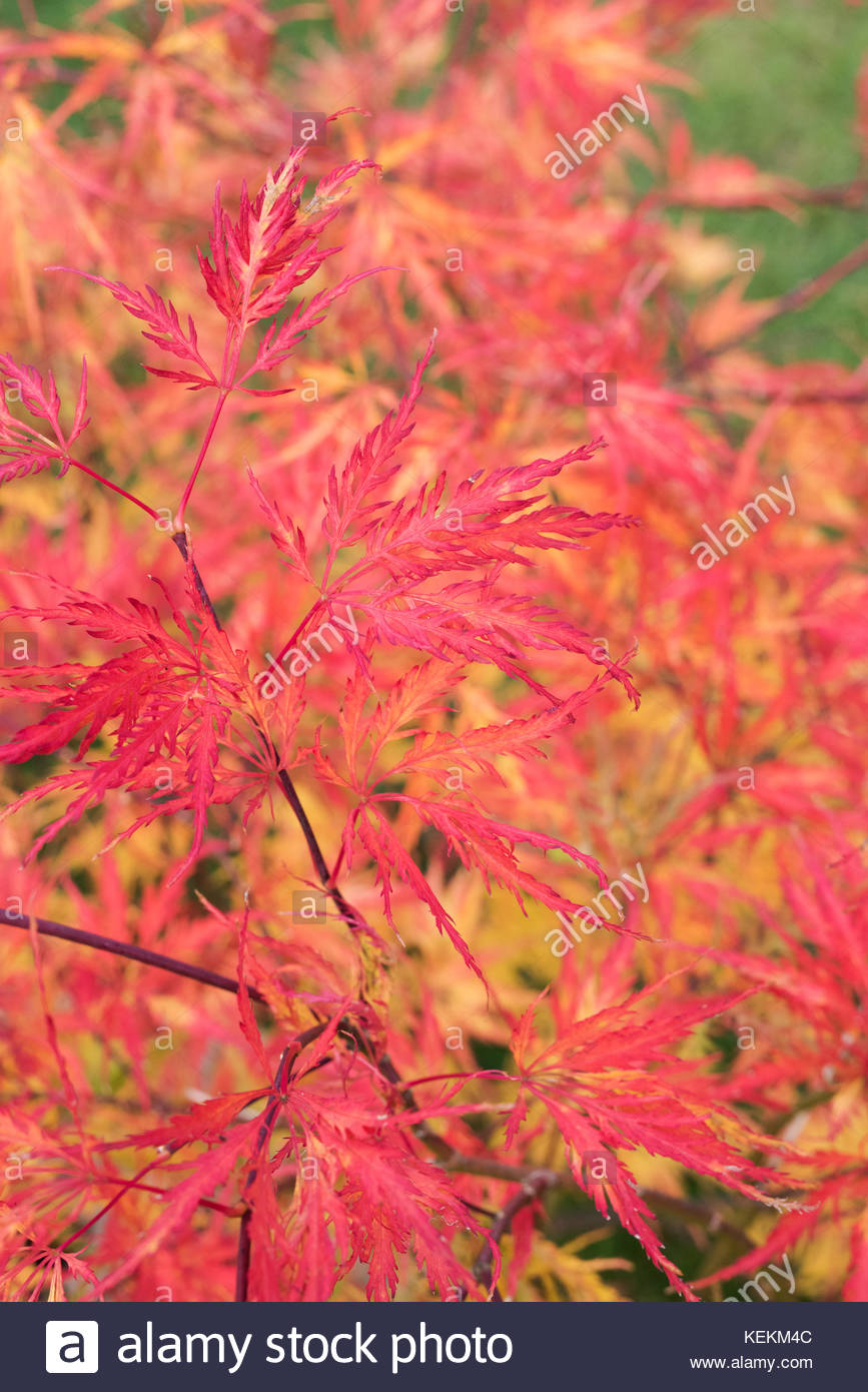 Weeping Maple Tree Stock Photos Weeping Maple Tree Stock Images