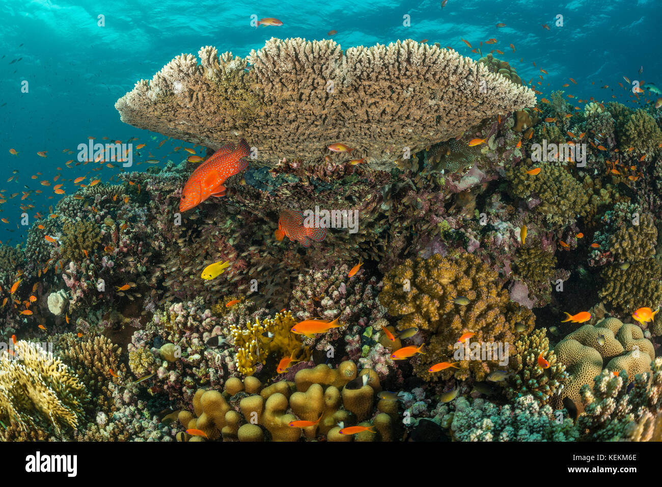 Healty Hard Coral Reef, Fury Shoal, Red Sea, Egypt - Stock Image