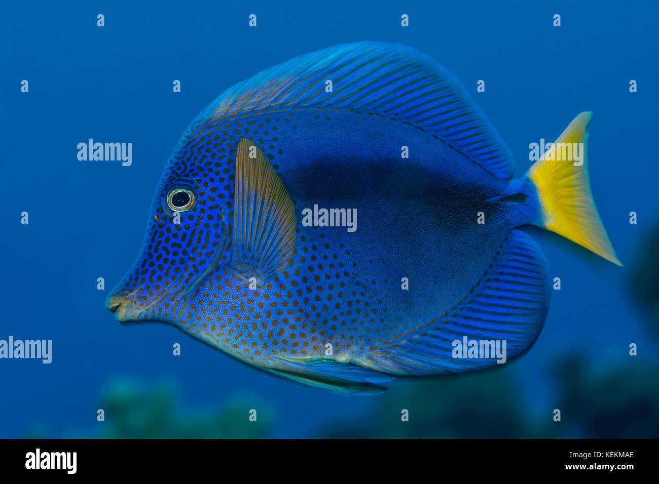 Yellowtail Tang, Zebrasoma xanthurum, Elphinstone Reef, Red Sea, Egypt Stock Photo