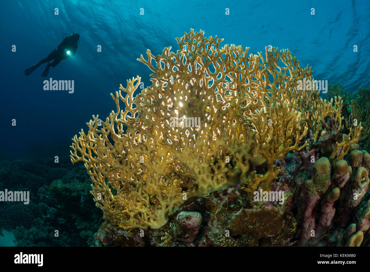 Scuba Diver over Fire Coral, Millepora dichotoma, Marsa Alam, Red Sea, Egypt - Stock Image