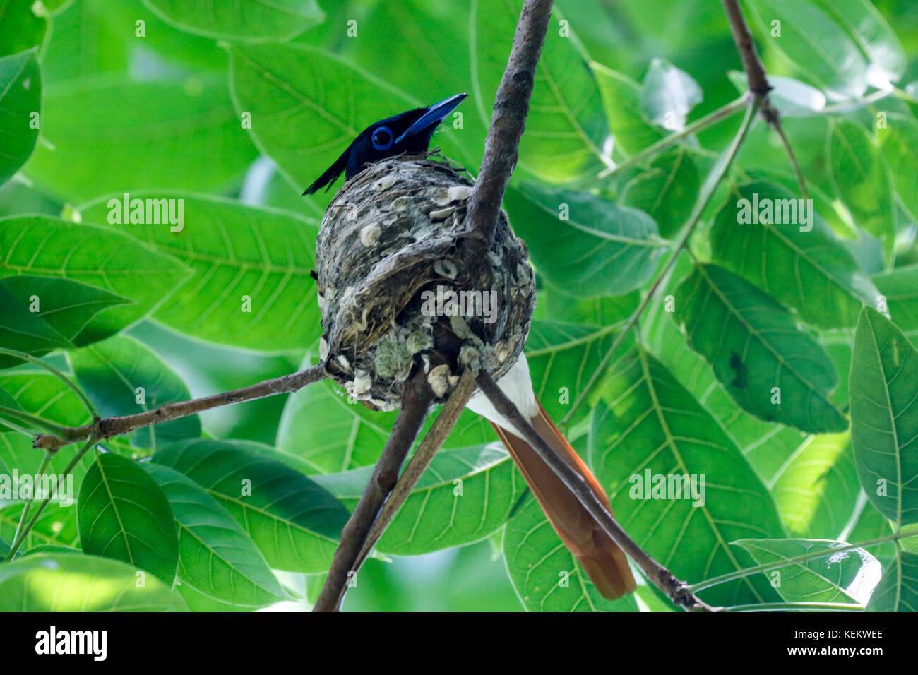 Paradise flycatcher. Kustia, Bangladesh Stock Photo