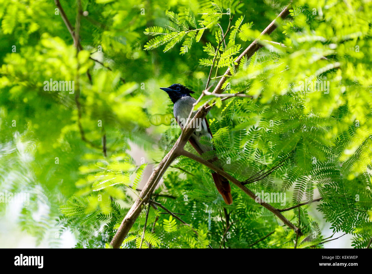Paradise flycatcher. Kustia, Bangladesh Stock Photo