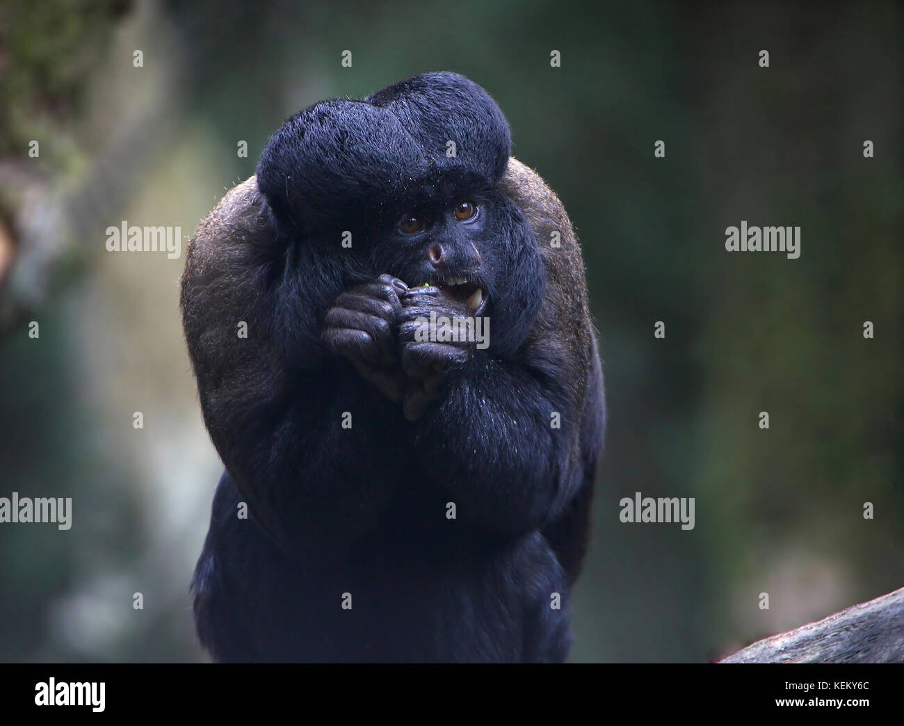Bearded Monkey Name: Bearded Saki Monkey Stock Photos & Bearded Saki Monkey