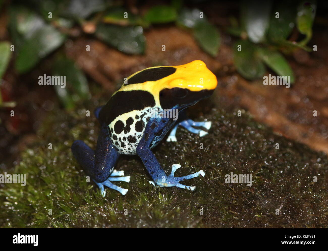 South American Dyeing poison dart frog or Tinc poison frog (Dendrobates tinctorius, Rana tinctoria), native to Guyana, - Stock Image