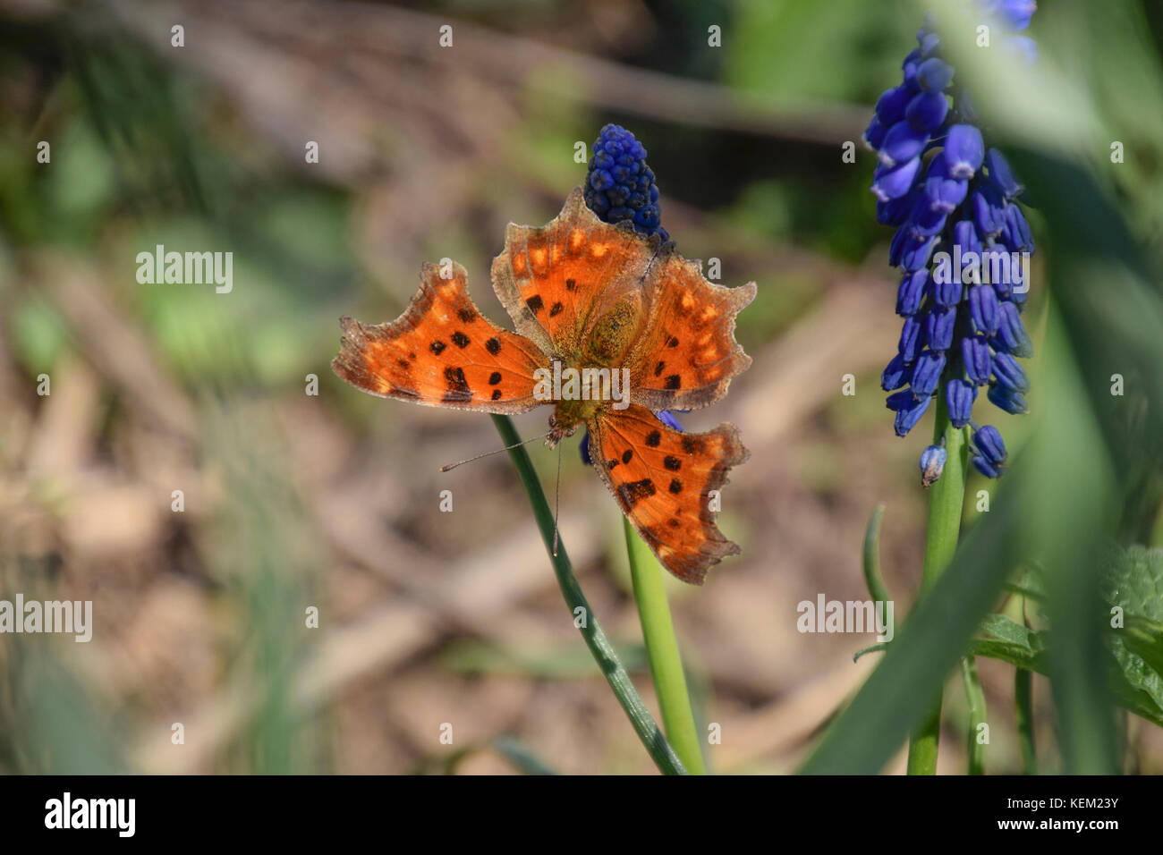 Polygonia c-album on a flower. Butterfly drinking the nectar of the flower. - Stock Image