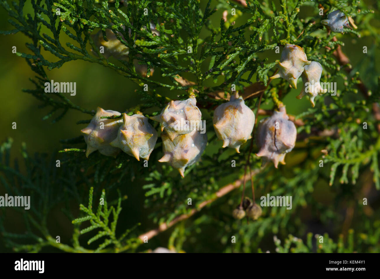 Brunch of thuya with cones. Thuja part of tree. Conifer Stock Photo