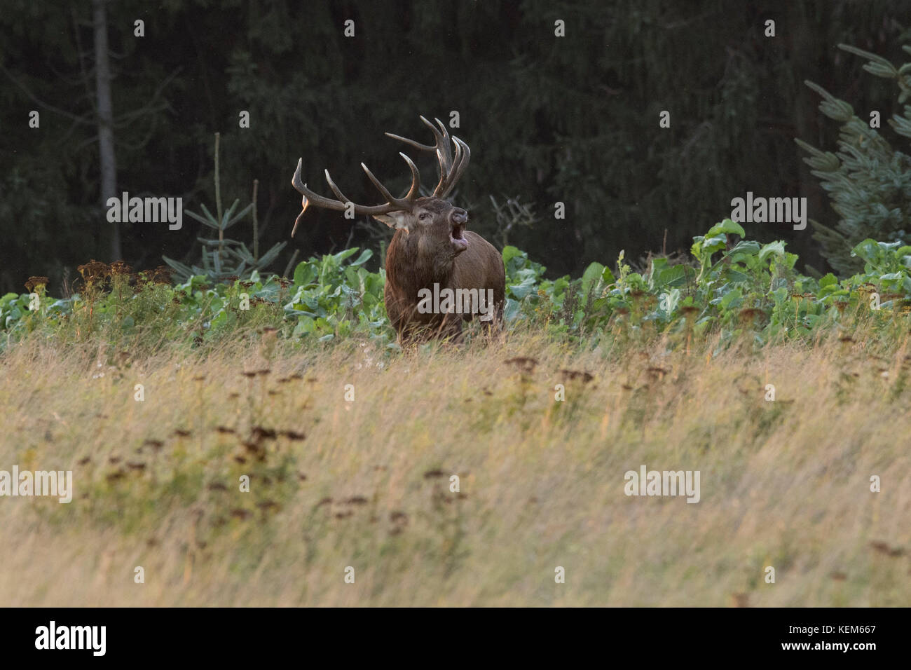 Flock of Red Deers ( Cervus elaphus) in mating-season where the strongest stag is defending his right to lead the Stock Photo