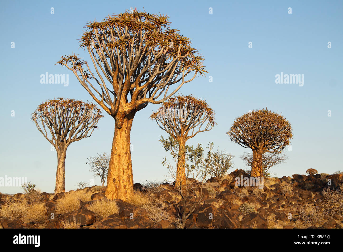 Quiver trees (Aloe dichotoma) in the Quiver Tree Forest, Namibia. Stock Photo