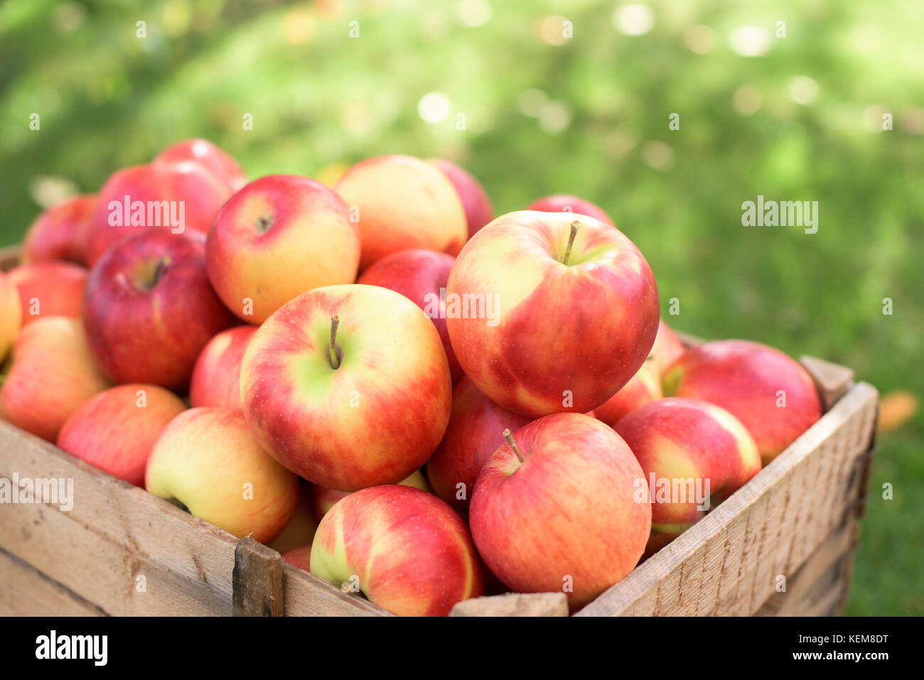 Juicy red apples in a wooden cassette - Stock Image