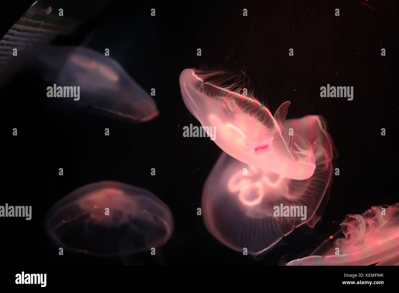 Multicolored jellyfish swim under water - Stock Image