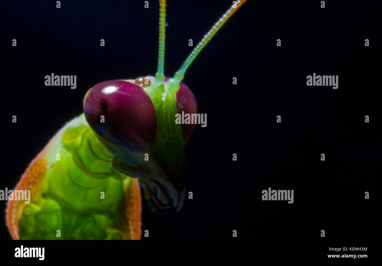 Praying Mantis head shot - Stock Image