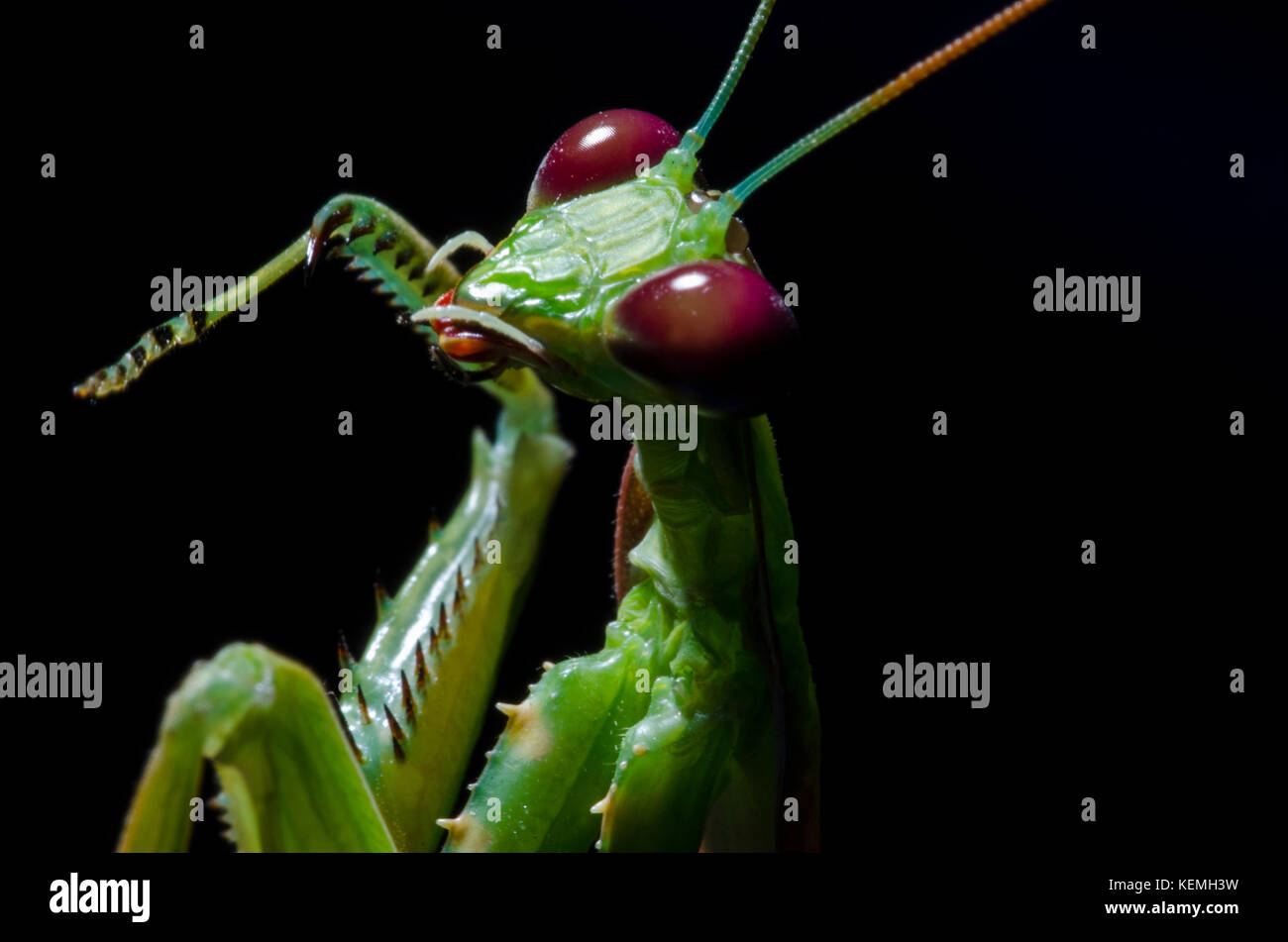 Praying Mantis - Stock Image