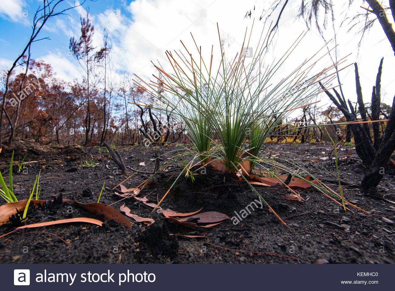 small plants quickly regrowing after a bush fire in Sydney Stock Photo