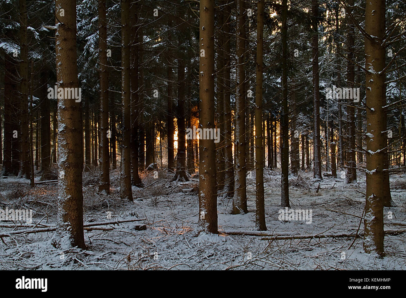 Sunrise in a pine forest in winter, red sunlight between the three stems, snow on the ground - Stock Image