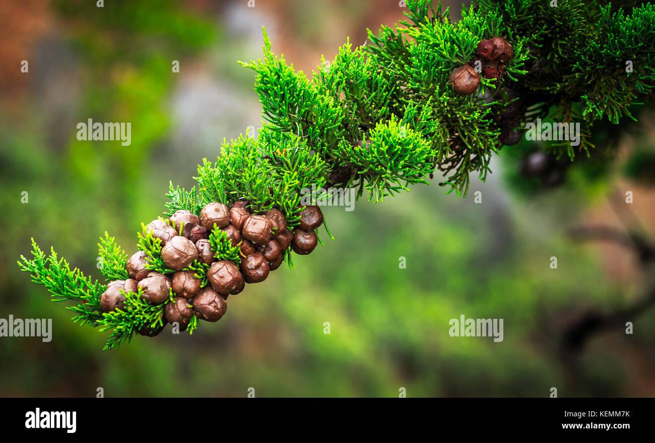 Conifer nuts - Stock Image