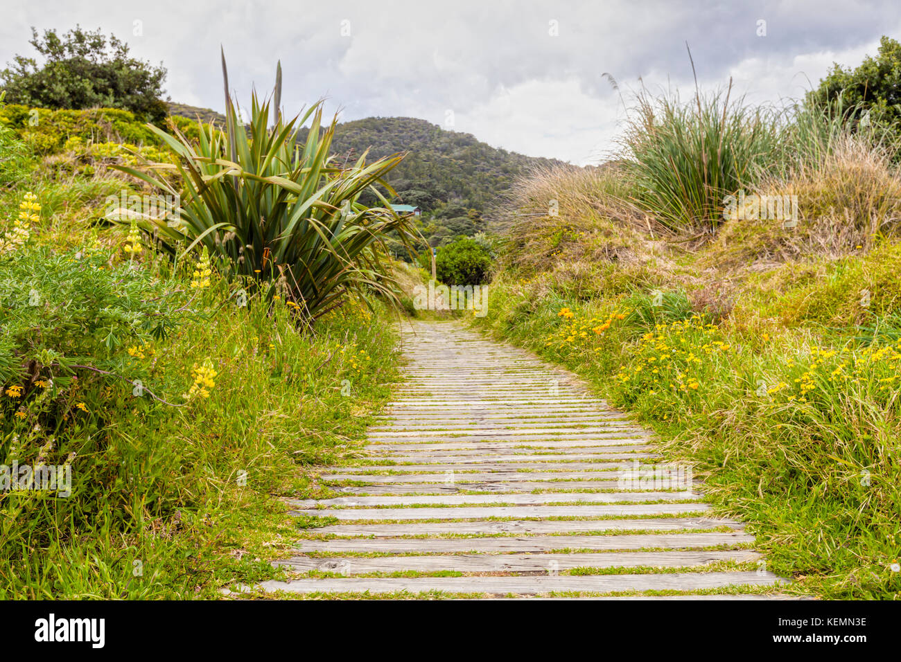 Boardwalk through vegetation covered sand dunes, Piha, Auckland, New Zealand, on a soft light day. - Stock Image