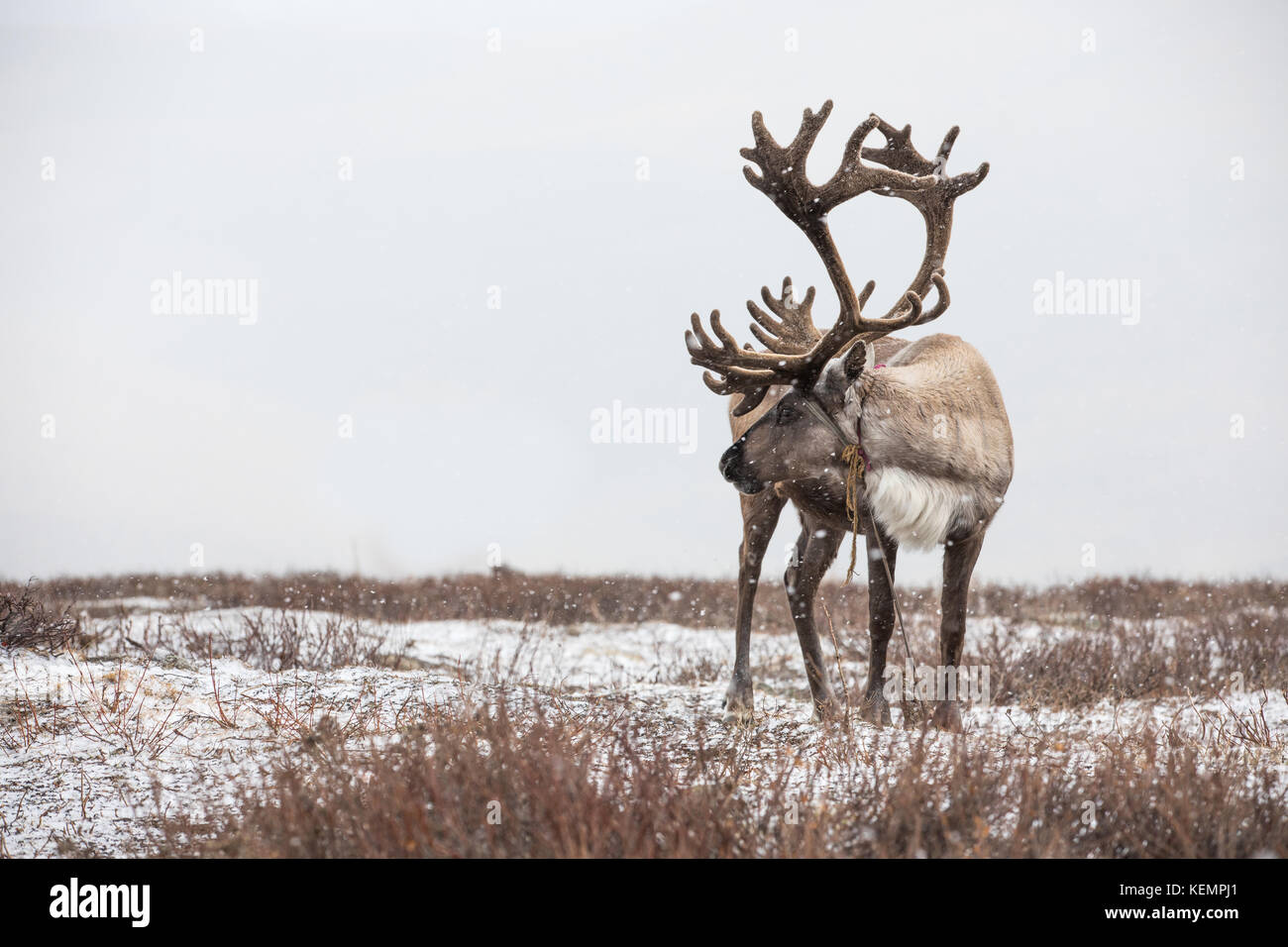 An old male reindeer with magnificent antlers in a heavy snow storm. Khuvsgul, Mongolia. - Stock Image