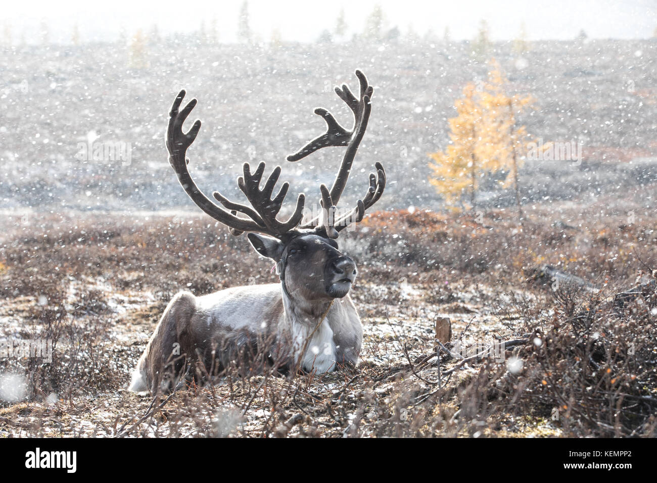 Male reindeer with magnificent antlers lying on the ground during a snow storm. Khuvsgol, Mongolia. - Stock Image