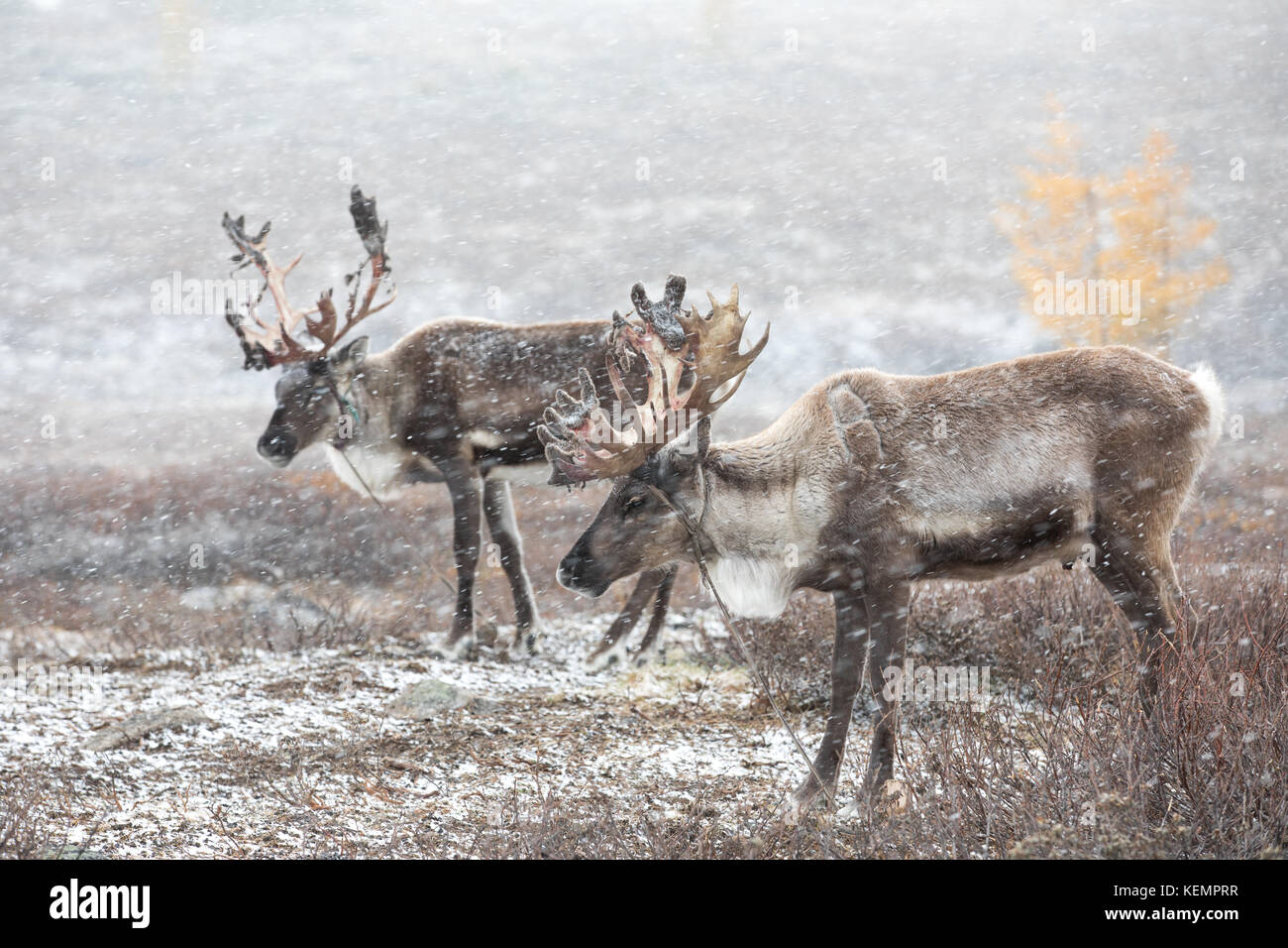 Two reindeer in a heavy snow storm. Khuvsgol, Mongolia. - Stock Image