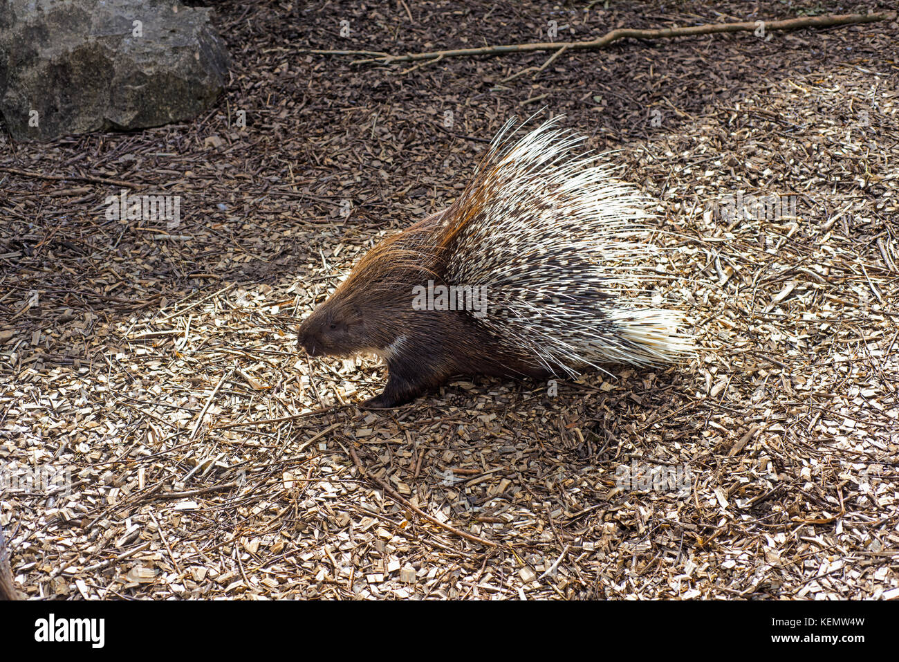 Small porcupine on the ground with sawdust. - Stock Image