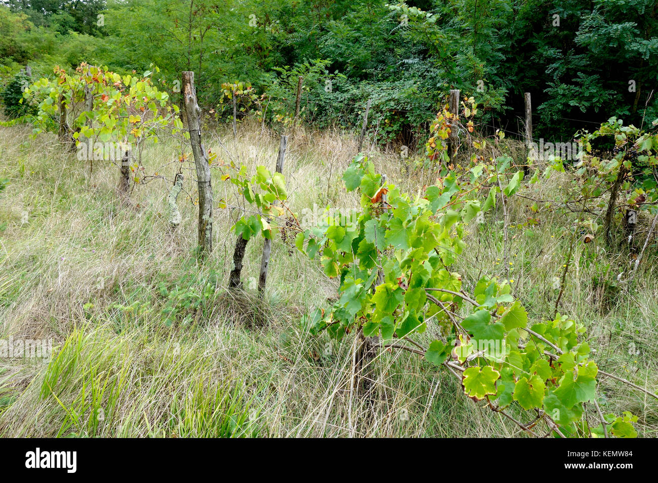 Neglected and abandoned vineyard overgrown in shrub and grass. - Stock Image