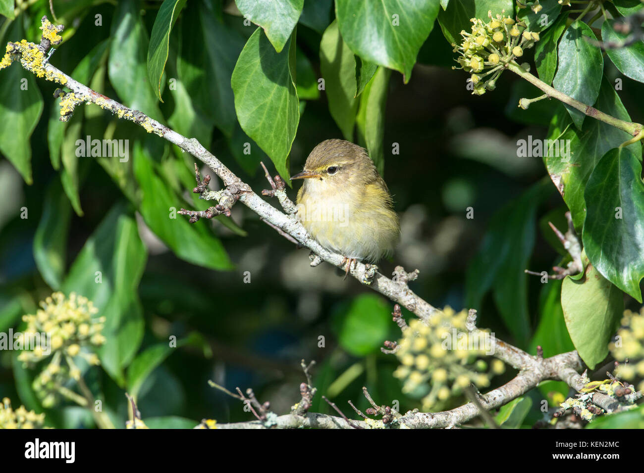 Chiffchaff (Phylloscopus collybita) Stock Photo