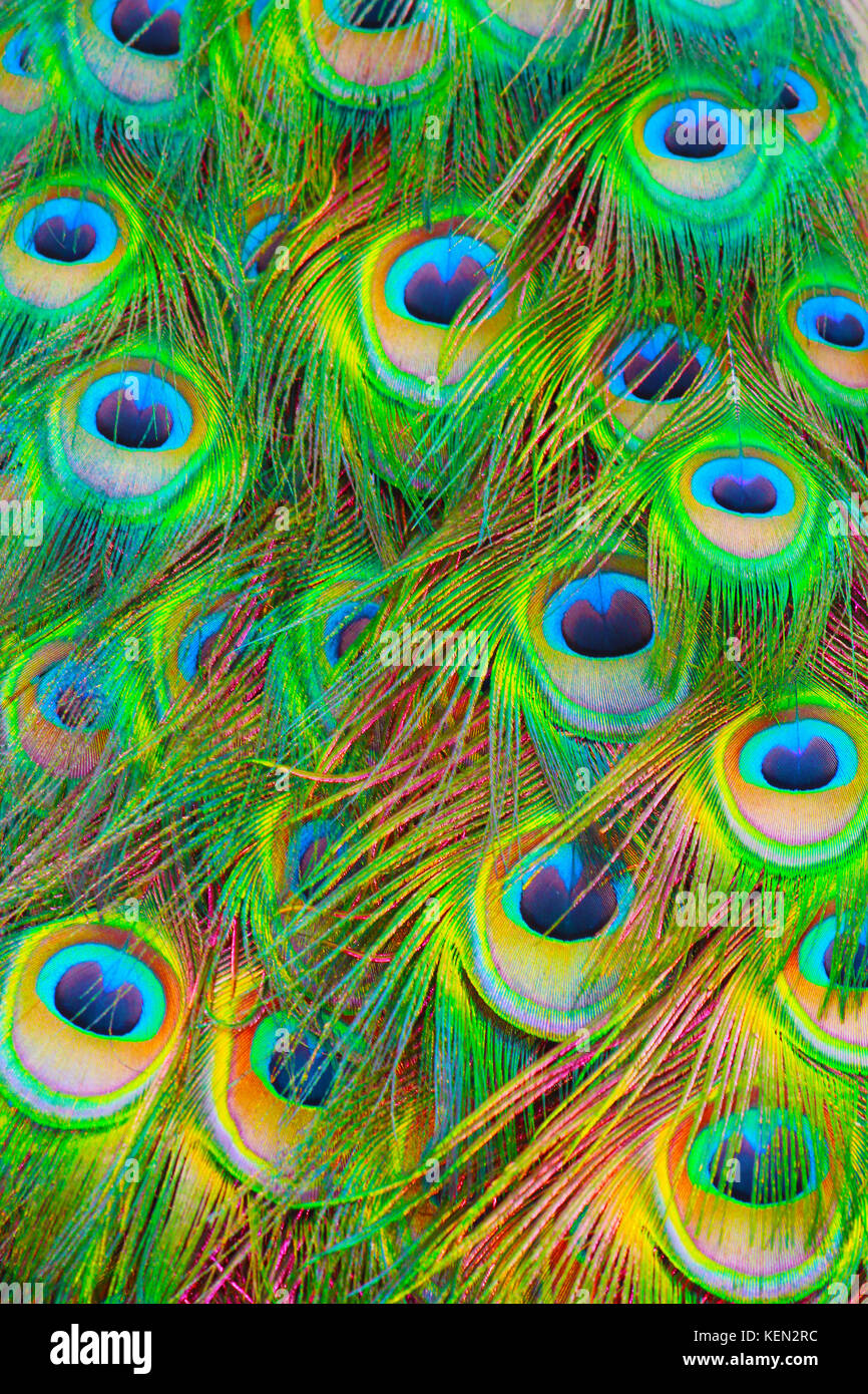 The Eyes of Argus. Peacock feathers can be art. Beautiful colours and fascinatingly complex visions. Phasianidae. - Stock Image