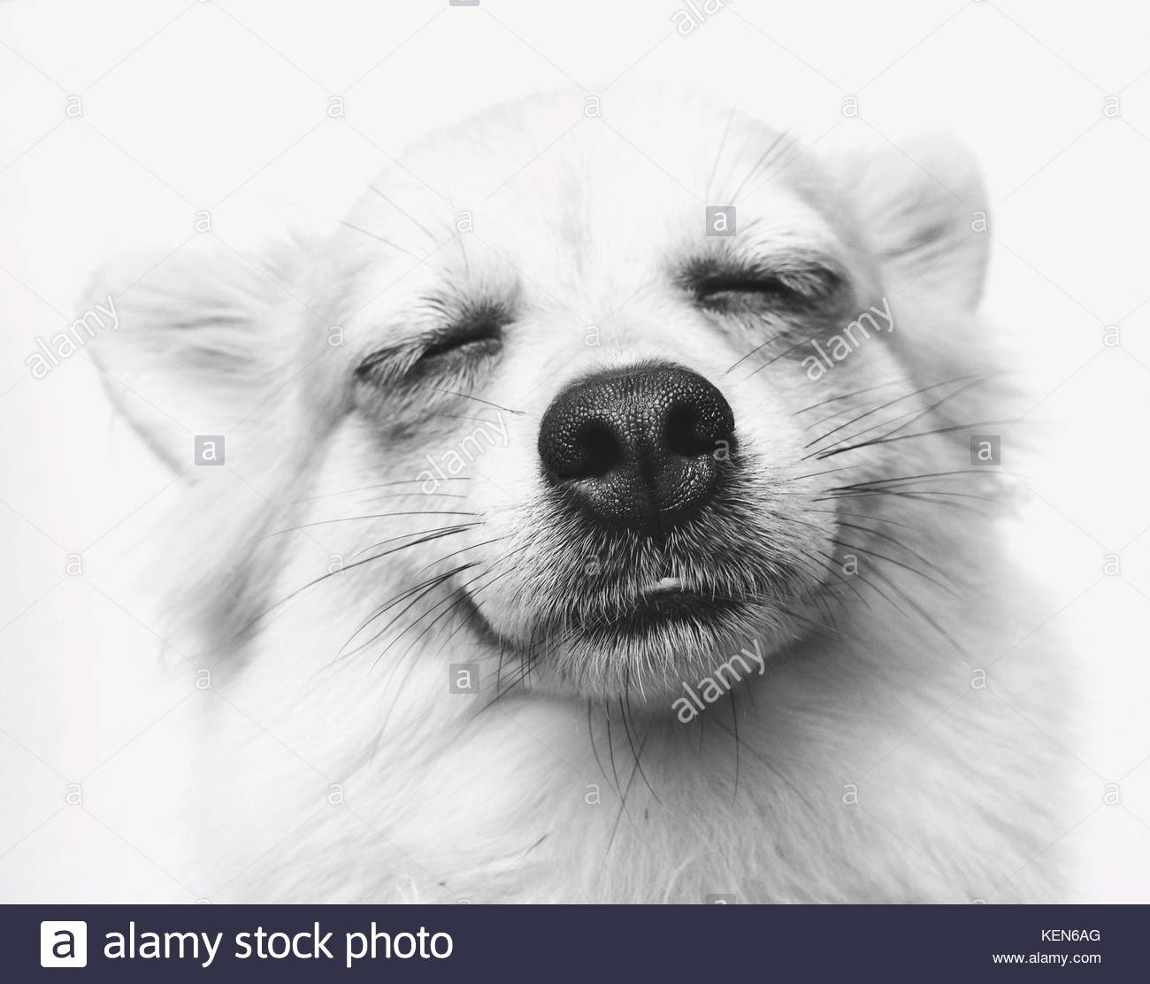 Chihuahua With Long Hair In Ears Stock Photos Chihuahua