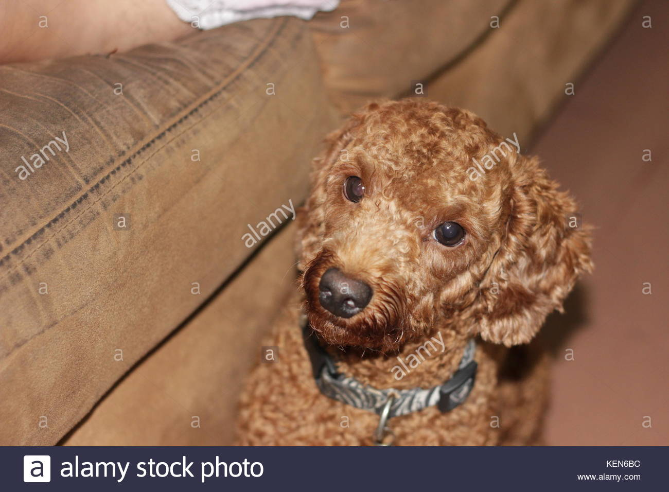 The Face Puppies Poodle Stock Photo